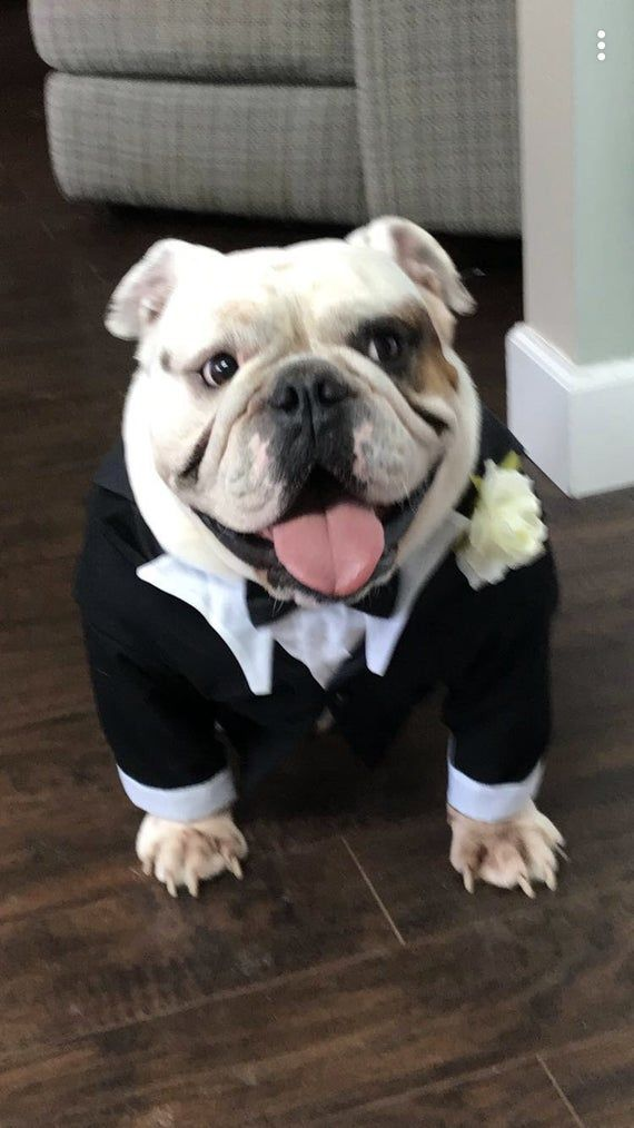 Bulldog Tuxedo Look How Smart These Three Bull Dogs Look In Etsy