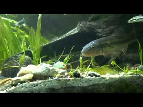 100 gallon aquarium consisting of species that live in the Ohio River watershed. Prominently featured in this clip are the hornyhead chub, mooneye, rainbow d...