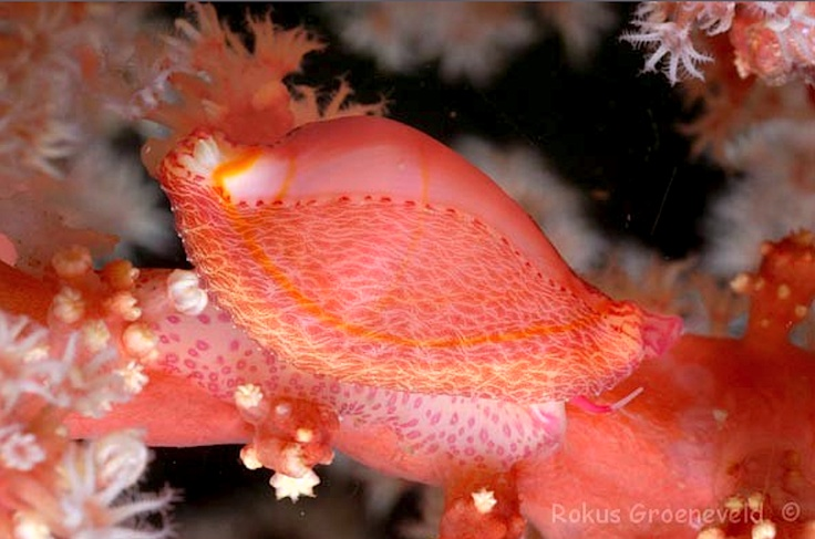 Dentiovula dorsuosa- Double-toothed Egg Cowrie