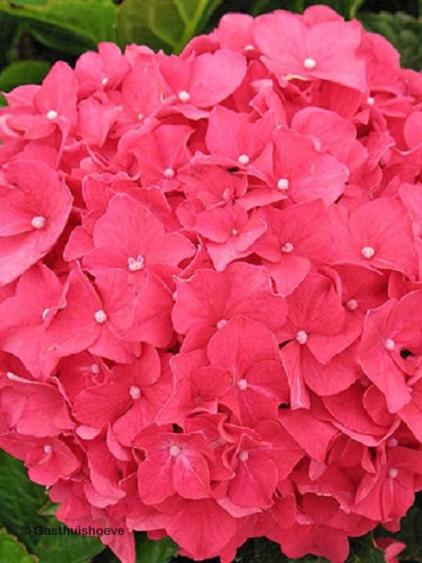 Hortensia kopen online. De Hydrangea Forever&Ever red rijkbloeiend en winterhard