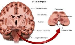 Image result for basal ganglia