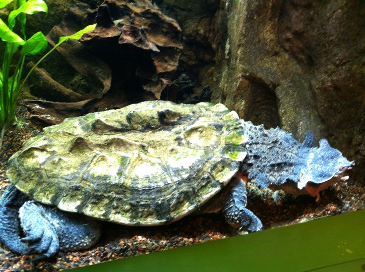 Turtle that looks like a rock- Camden aquarium