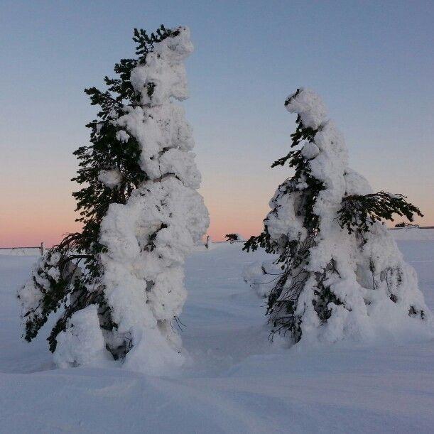 Kaksi vanhaa puuta lumenpeittämää