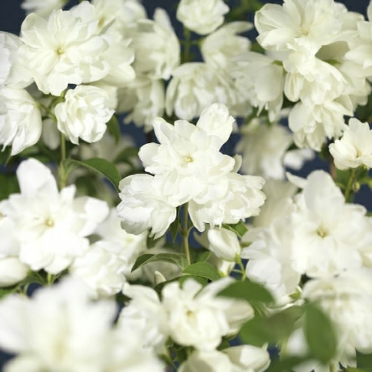 Tett, opprettvoksende, kompakt skjærsmintype med friskt, mørkegrønt bladverk og store, doble, hvite blomster med fin duft i juni-juli. Trives på en solrik plass med lett, varm jord. God i buskgrupper. ...