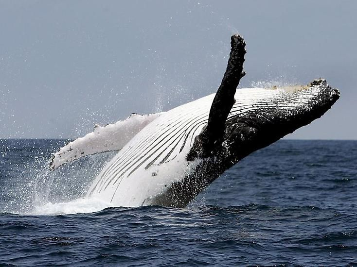 Buckelwale sind bekannt für ihre Walgesänge. Keine andere Walart kann so ausdauernd und vielfältig singen.