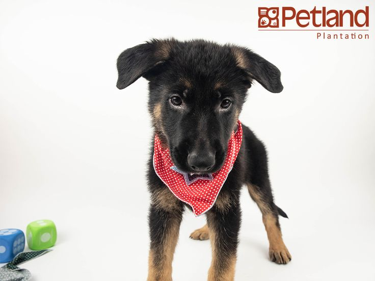 Petland Florida Has German Shepherd Puppies For Sale Interested In Finding Out More About This Breed Check Out Our Available Puppies German Shepherd Puppies Shepherd Puppies Puppies For Sale