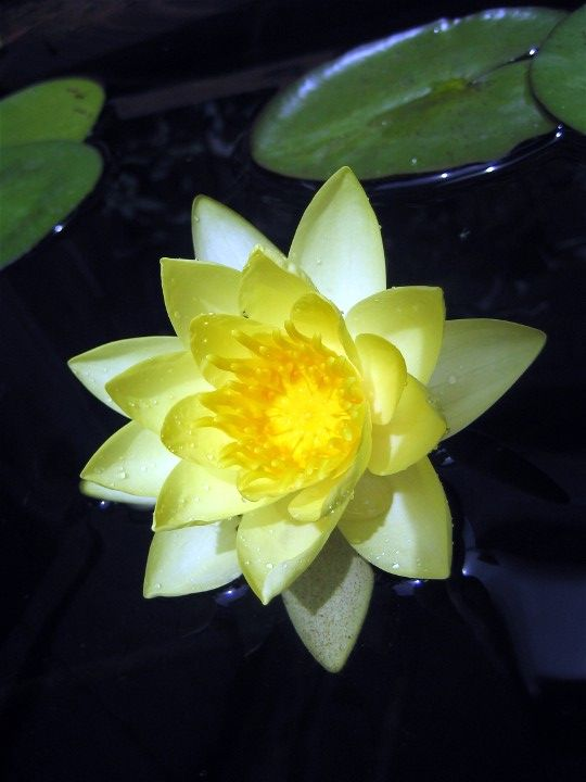 yellow water lily flower - photo #25