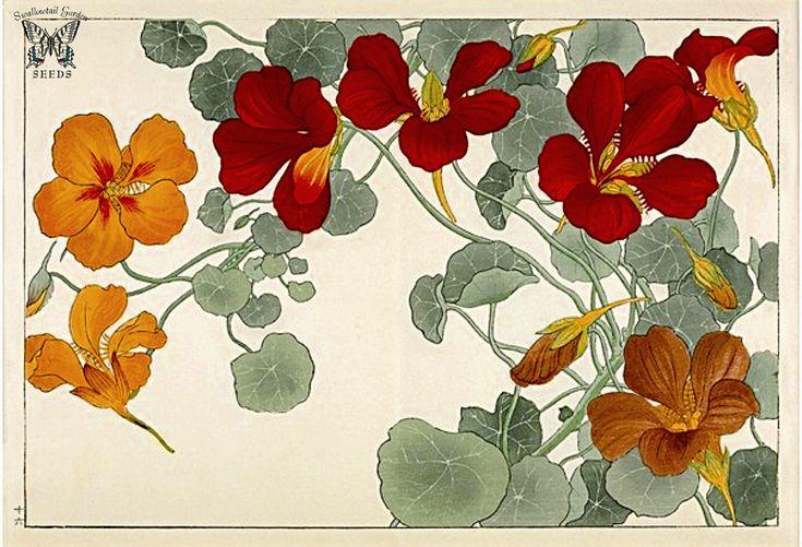Nasturtium. Seiyo Soka Zufu (A Picture Album of Western Plants and Flowers) Woodblock print by Tanigami Konan (1917).