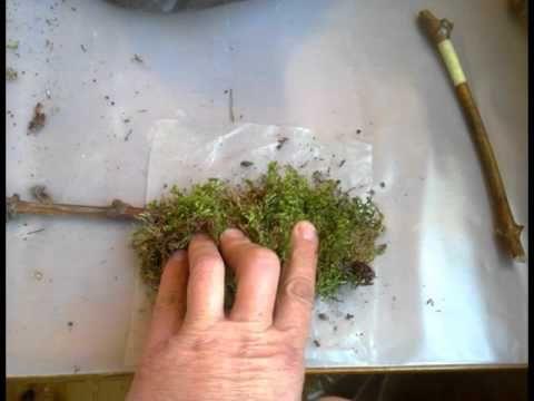 Укоренение черенков во мху Базовый
