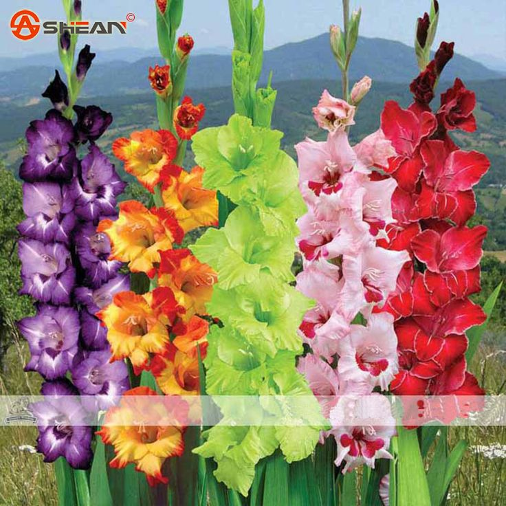 Different Gladiolus Flower Seeds Potted Orchid Seed 20 Colors Available 100 Particles / lot
