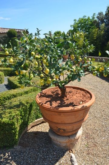 Best 25 trees in pots ideas on pinterest potted trees for Olive trees in pots winter care