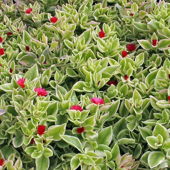 'Baby Sun Rose', 'Variegated Ice Plant': Fleshy green leaves edged creamy white. Small deep rose flowers. Creeping habit. Excellent in hanging baskets. Full sun.