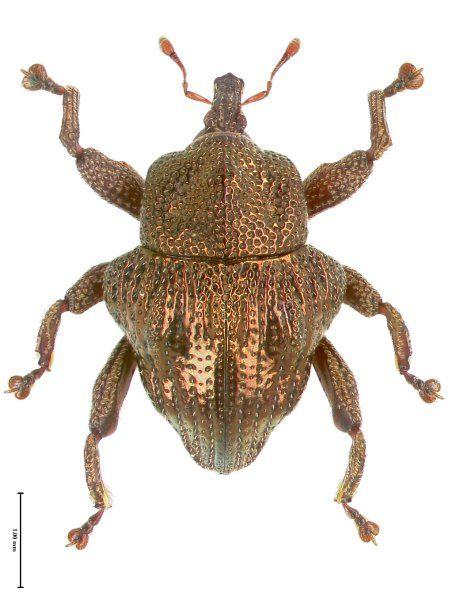 Dieser hübsch metallisch glänzende Rüsselkäfer heißt Trigonopterus fulgidus und...