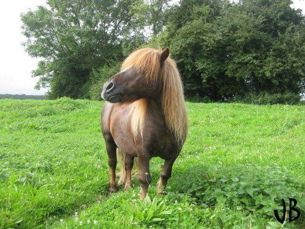 Nous avons tous déjà croisé ces petits poneys dont raffolent généralement les enfants. Mais que savez-vous réellement sur ces équidés finalement ? Je vous propose de venir découvrir le poney Shetland dans la suite de cet article !