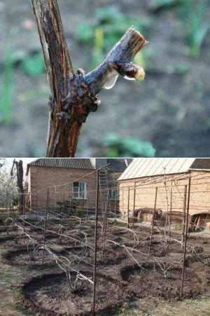 Уход за виноградом весной в начале сокодвижения | Дача - впрок | сад. огород | Постила