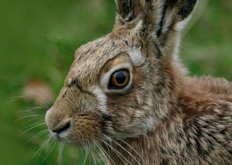 Brown Hare, WWT/ Darin Smith