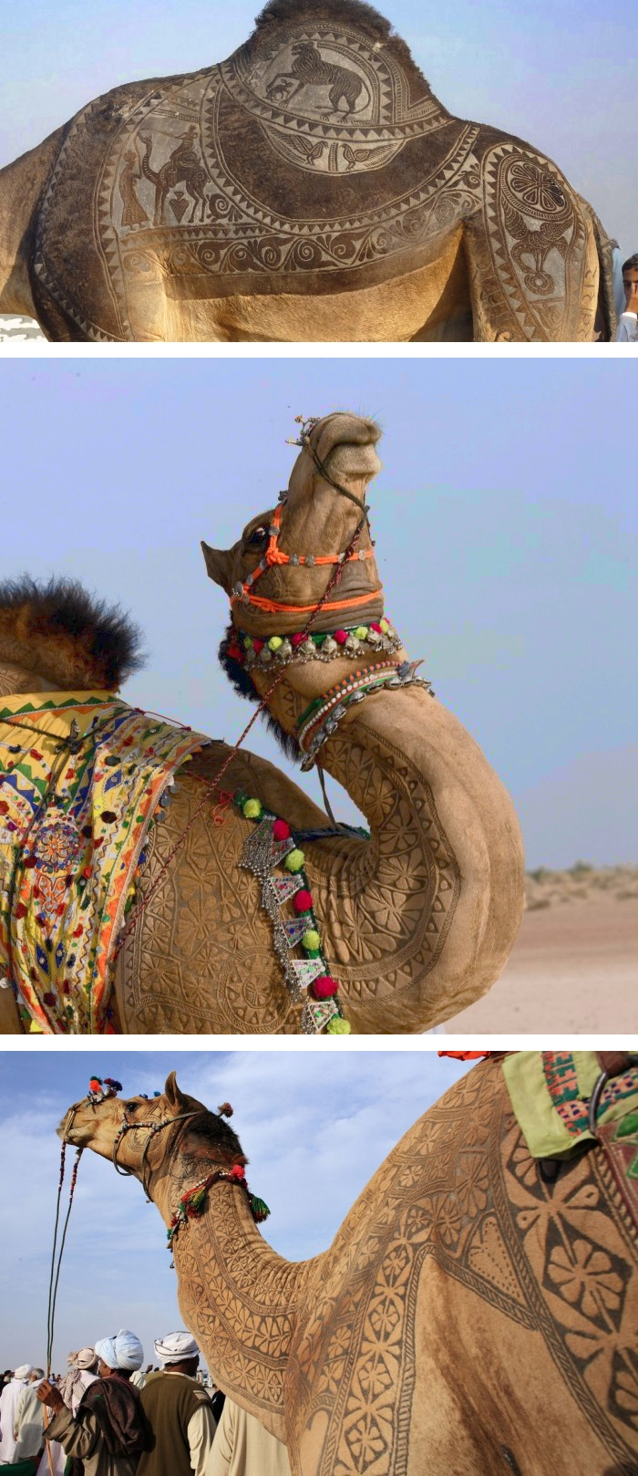 Camel tattoos - It takes about 3 years to make an engraved tatoo for an individual camel. First 2 years, there is just growing the hair and starts trimming. Desert Inhabitant don't use engraved iron for the camels. They just cut and dye the camel hair.     Ph: Osakabe Yasuo & Steve Hoge.