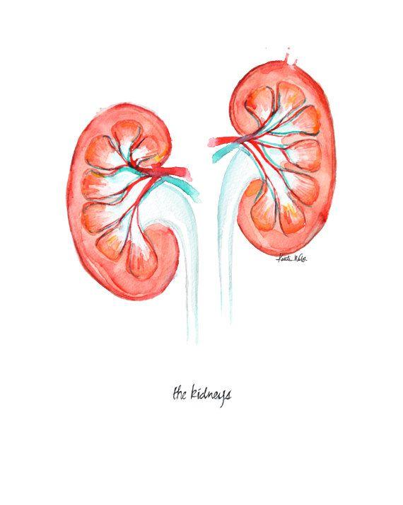Kidney Watercolor Print Anatomical Kidney Art by LyonRoad