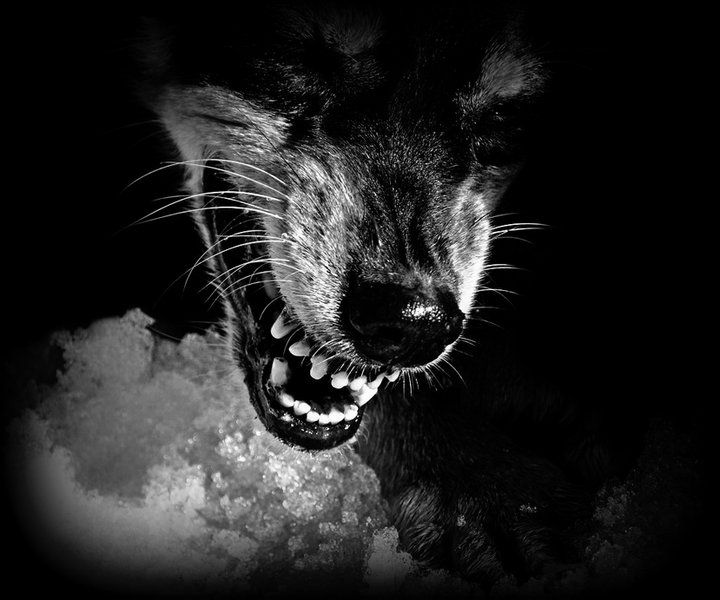 Black and White Wolf Snarling