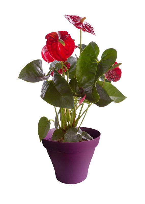 Anthurium rouge avec cache pot violet