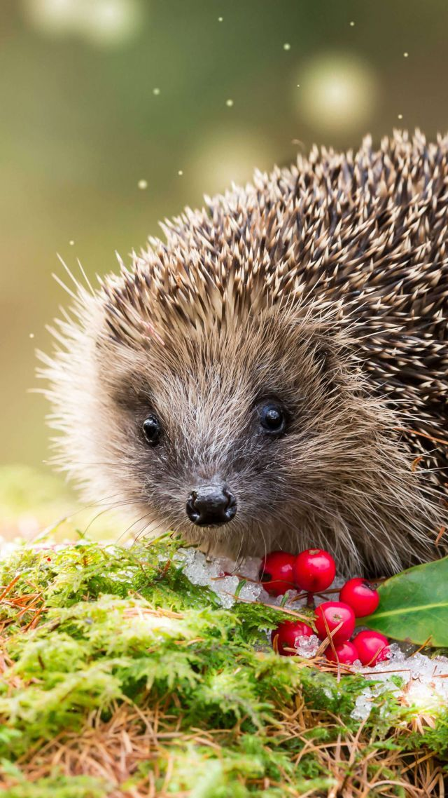 4k Wallpapers Hd Wallpapers Funny Animals Cute Hedgehog Hedgehogs Cutie Animal Happy Funny Berries Bigeye Animals Wallpaper Android Phone Wallpaper