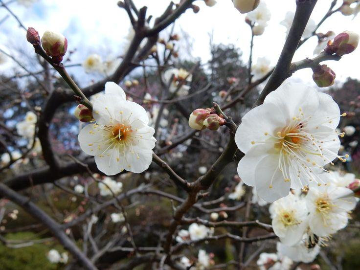 春一番! 梅も咲きました (japanese apricot)
