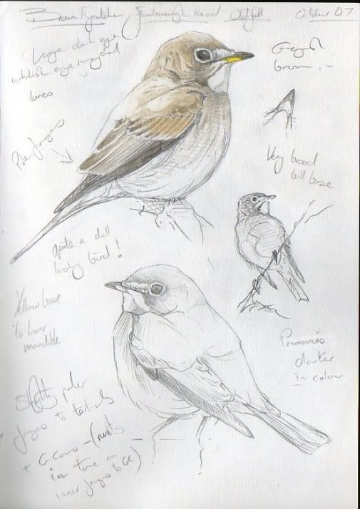 Steph' Thorpe. Bird Artist and Illustrator   Artwork of bird species from the British Isles and beyond (specialist in UK Rare birds):