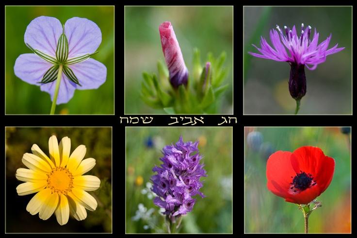 Israel the Beautiful: Wildflowers of Israel by Yehoshua Halevi