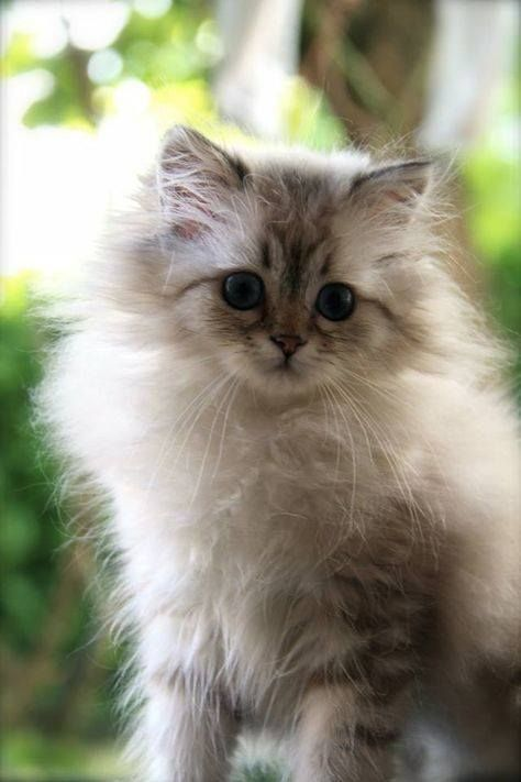 Cute AND Fluffy !! #cats #kittens #cute #cutecats