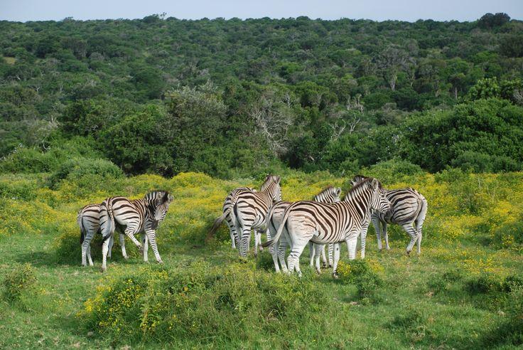 Zebra in the flowers at Sibuya Game Reserve, Eastern Cape, South Africa www.sibuya.co.za