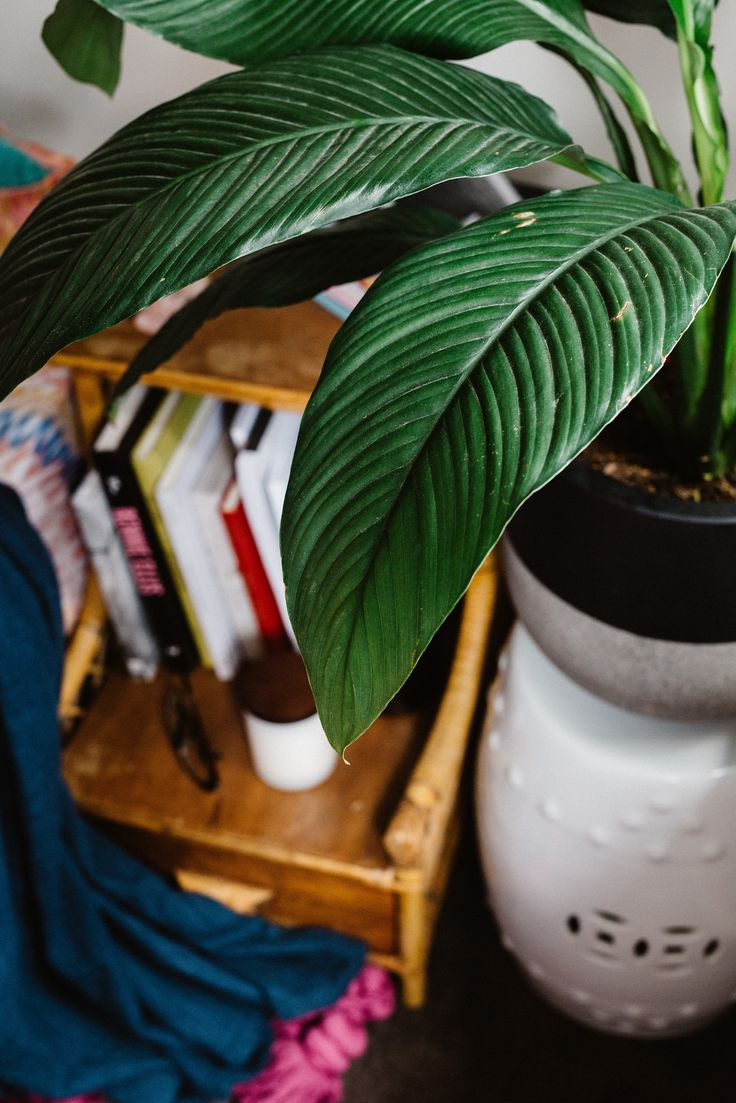 spathiphyllum, peace lily, air purifying plant, clean air