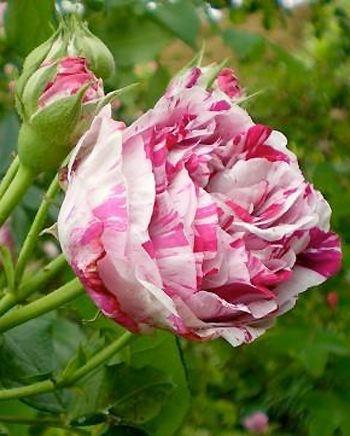 les 8 meilleures images propos de les roses anciennes sur pinterest blush mauve et fleur. Black Bedroom Furniture Sets. Home Design Ideas