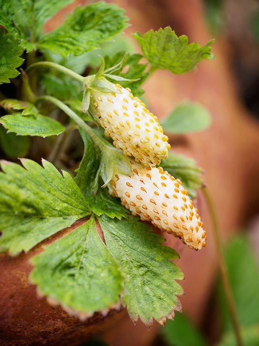 Yellow alpine strawberries in front yard raised beds
