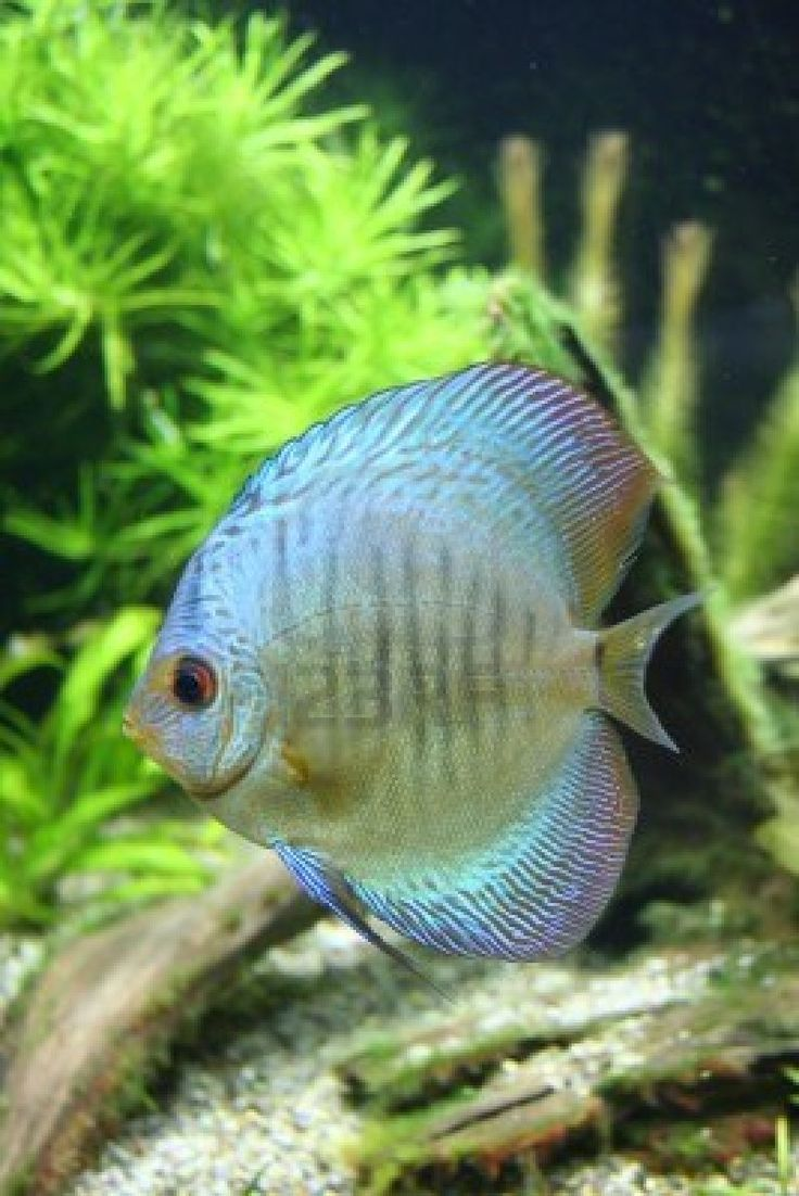 Fish aquarium jeddah - Blue Discus Tropical Aquarium Fish
