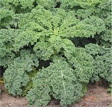 Kale, Brassica oleracea L. var. acephala, sun, plant in early spring +summer, grows in cool seasons spring and fall, 1-3' tall, soil depth med 8""