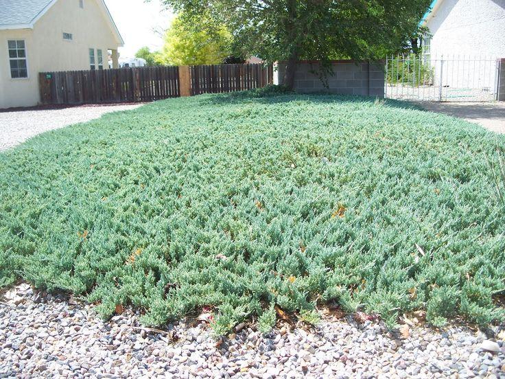 Blue Rug Juniper Full Sun Live Plants Ground Cover