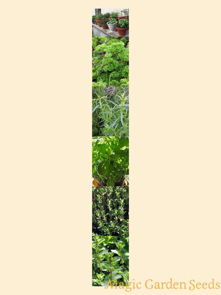 Das Samen Set 'Kräutermischung Französische Küche' beinhaltet Ocimum basilikum, Artemisia dracunculus, Petroselinum crispum, Origanum majorana und Thymus vulgaris. Jetzt bei Magic Garden Seeds entdecken.
