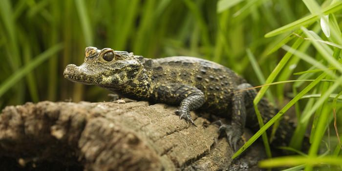 Dwarf crocodiles are among the smallest crocodile species on Earth today. © McDonald Wildlife Photography. Did you know: These shy forest dwellers spend much of the day hidden in earthen burrows and emerge after dark to search for food. Unlike most crocodilians, dwarf crocodiles (Osteolaemus tetraspis) do much of their hunting on land—prowling the forest at night, far from water. #biologycoachonline