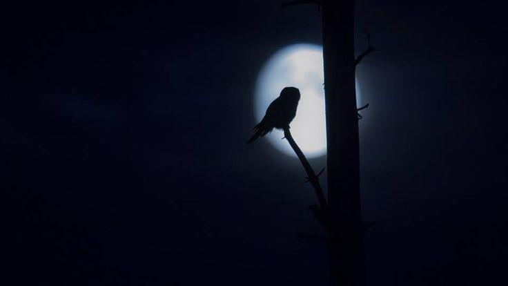Carried away by a moonlight shadow... #torpedoowl Photo by: Jani Ylikangas