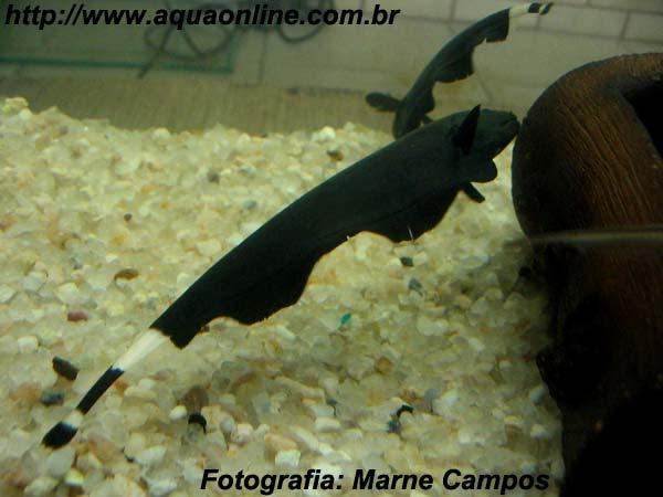 Nome científico:Apteronotus albifrons  Nome popular (BR):Ituí Cavalo