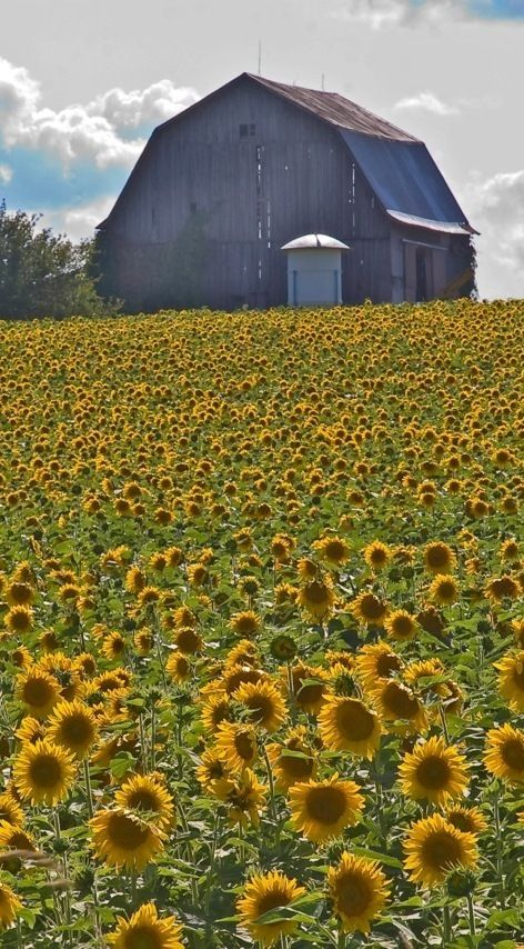I Hope This barn Likes Sun Flowers, They're Everywhere