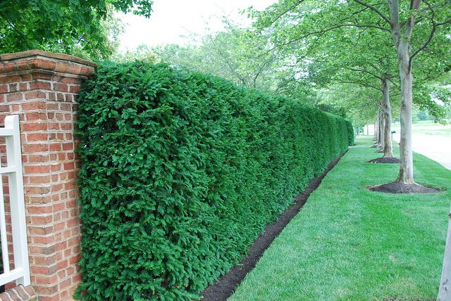 Yew Hedge - Privacy screening for west side of front yard. We are definitely looking forward to these.