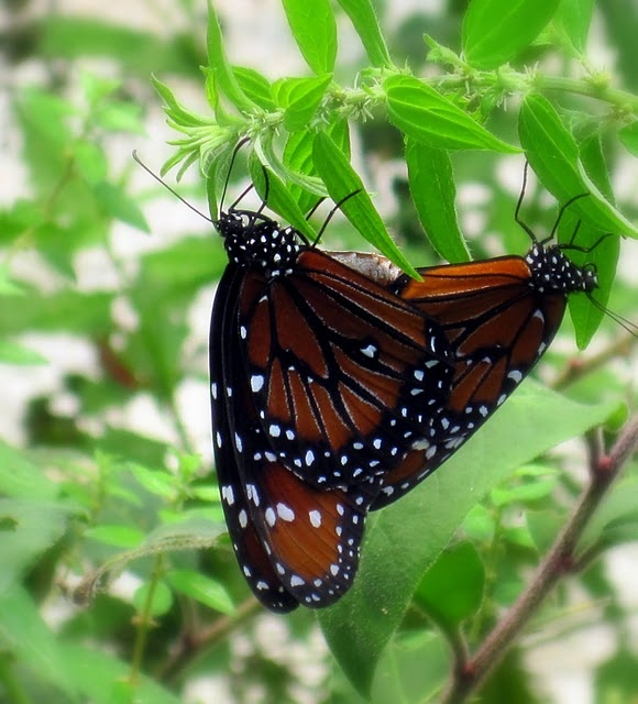 Two butterflies, Love the journey of the monarch butterfly!