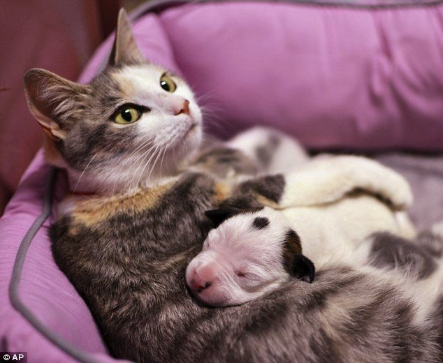 Lurleen the cat, who has four newborn kittens, is now also nursing an orphaned week-old pit bull puppy named Noland  Read more: http://www.dailymail.co.uk/femail/article-2345234/Now-thats-puppy-love-The-mother-cat-nursing-week-old-pit-bull-left-orphaned-animal-shelter.html#ixzz2WnnS1OTt