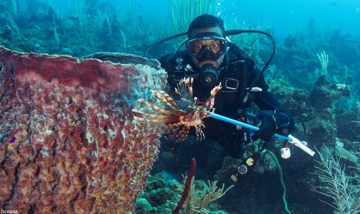 Caption: A scuba diver spears a lionfish during the Dangriga Lionfish Tournament. <i> Credit: A. Ellis / Oceana </i>