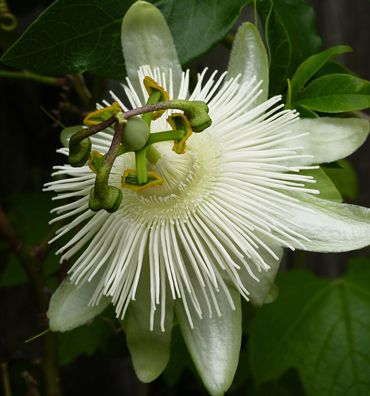 Passiflora caerulea 'Constance Eliott' Grows in cool climates to zone 6! Grows to 30' and like all passion flowers, it attracts butterflies.