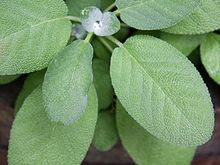 (SAGE)  Salvia officinalis - Wikipedia, the free encyclopedia