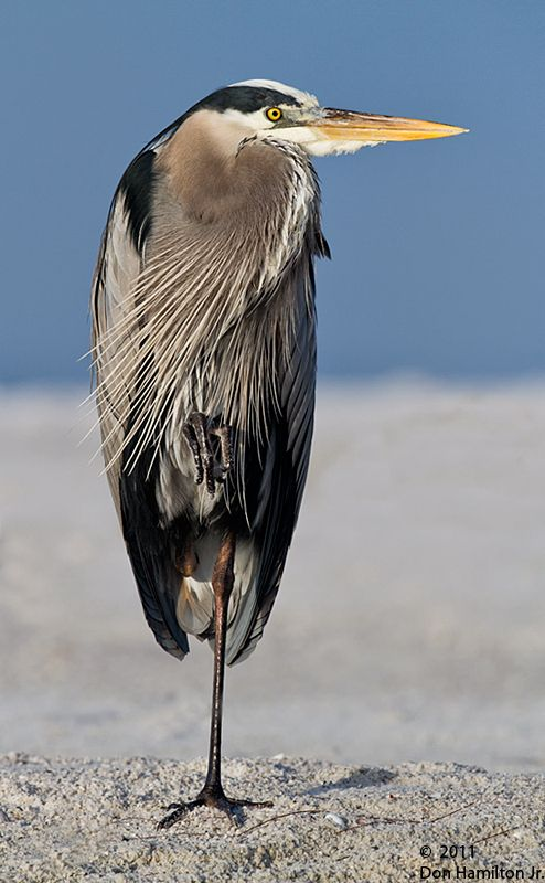 Great Blue Heron - The bird photos of this artist are a marvel to see and enjoy!
