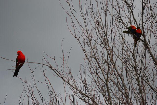 Male Australian King-Parrot with two Rainbow Lorikeets #Alisterus #Scapularis #Trichoglossus #Haematodus