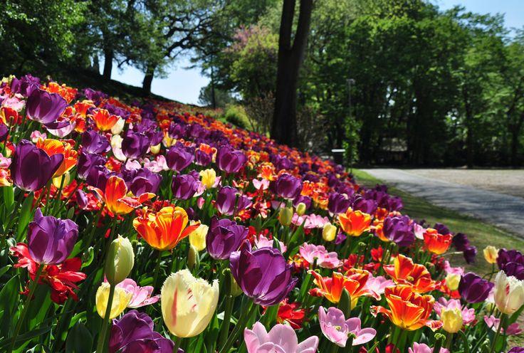Tulips in Parco Sigurtà. Verona